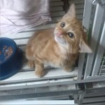gattin rosso